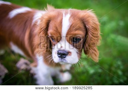 A beautiful little dog breeds a spaniel standing on a green meadow