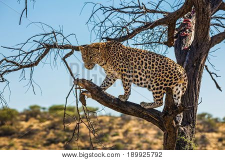 The concept of exotic and extreme tourism. Travel to Namibia. Leopard feeding. Spotted african leopard climbed a tree. The pieces of meat for him are laid out on the branches