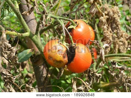 Tomatoes get sick by late blight or Phytophthora. Close up on Phytophthora infestans is an oomycete that causes the serious tomatoes disease known as late blight or potato blight.