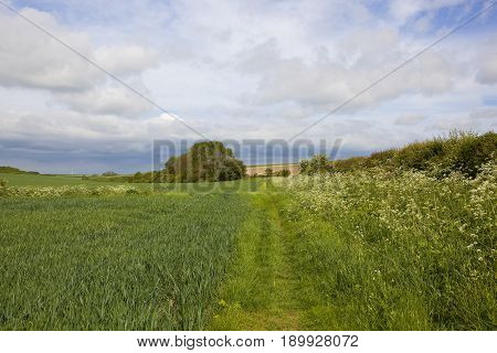 Summer Wheat And Footpath
