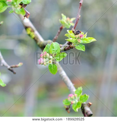 Beautiful flowering fruit trees. Blooming plant branches in spring warm bright sunny day.