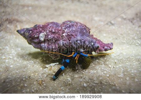 Electric Blue Hermit Crab hid in its shell colorful on the sand