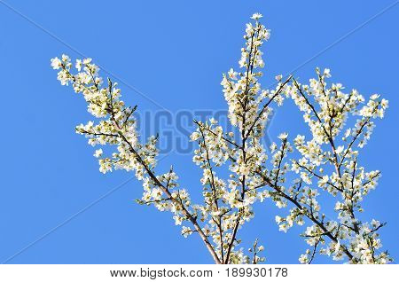 Delicate flowers of a cherry tree backlit close up.