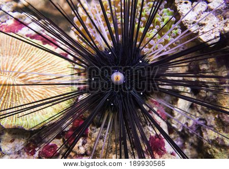 Long spines sea urchin (Diadema setosum) on a background of sea stones.
