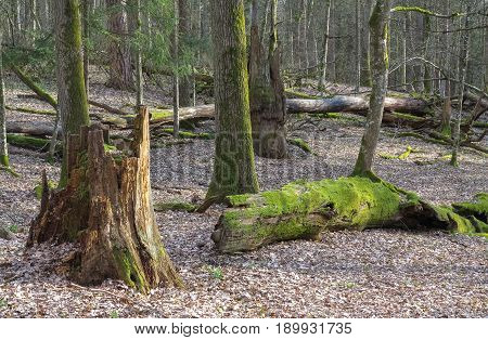 Springtime old deciduous stand with old broken oaks lying partly declined Bialowieza Forest Belarus Europe