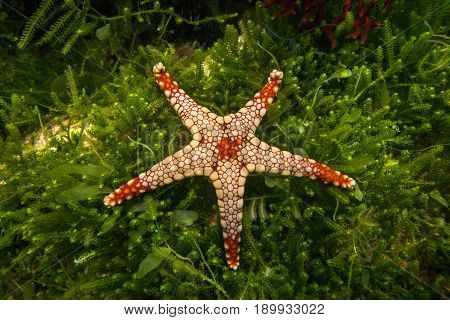 A starfish Fromia monilis (Elegant sea star) on a background of green seaweed.