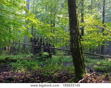 Old moss wrapped hornbeam tree and old natural deciduous stand in summer morning, Bialowieza Forest, Poland, Europe