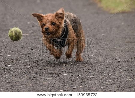 Male Yorkshire Terrier cross, running after the ball