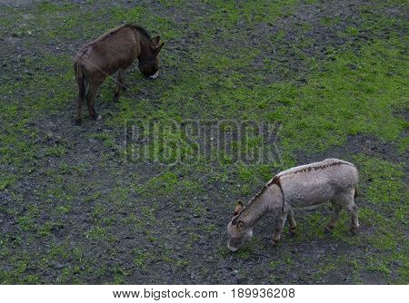 Two donkeys eating grass on the field. Top view