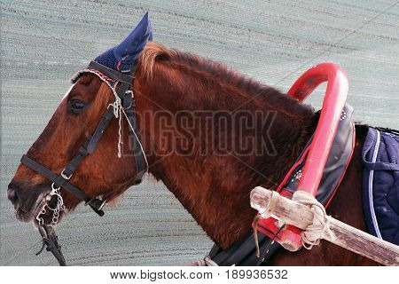 Horse working in a yoke, the bridle and the arc. Wet tired horse pulling a cart. Rural Gelding in harness.