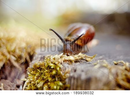 Small brown snail crawling in the environment.