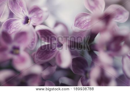 Floral background with lilac flowers close up