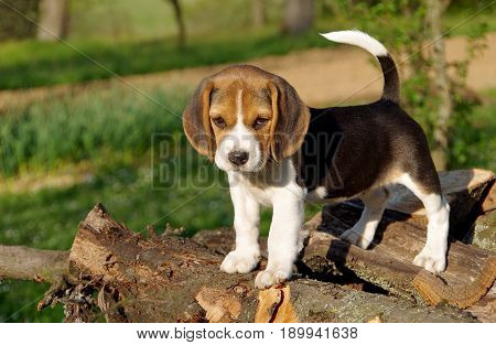 Beautiful beagle puppy on a green background