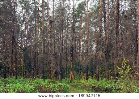 Dry trees infected by eight-toothed bark beetle (Ips typographus) in the forest neart city Balashikha in Moscow region, Russia.