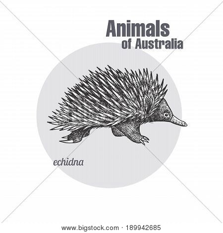 Echidna hand drawing. Animals of Australia series. Vintage engraving style. Vector art illustration. Black graphic isolate on white background. The object of a naturalistic sketch.