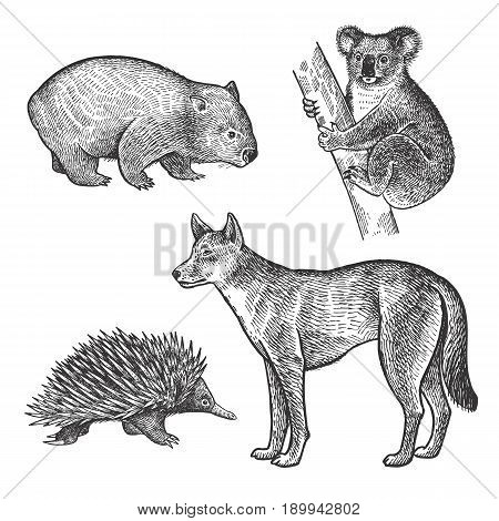 Koala bear Wombat Echidna Dingo Dog hand drawing set. Animals of Australia series. Vintage engraving style. Vector art illustration. Black and white. The object of a naturalistic sketch.