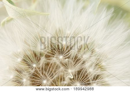 Macro Photography Of A Dandelion In Spring.
