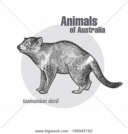 Tasmanian devil hand drawing. Animals of Australia series. Vintage engraving style. Vector art illustration. Black graphic isolate on white background. The object of a naturalistic sketch.