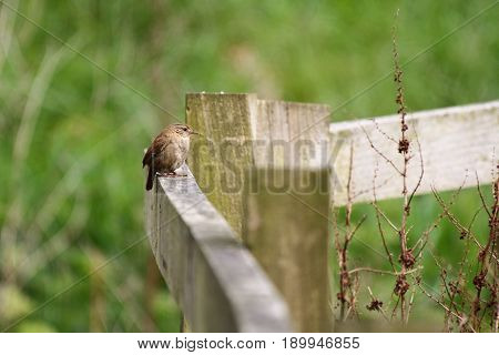 A tiny Wren perching on top of a wooden fence