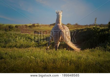 Dapple-grey horse stays on green field on the blue sky background in evening