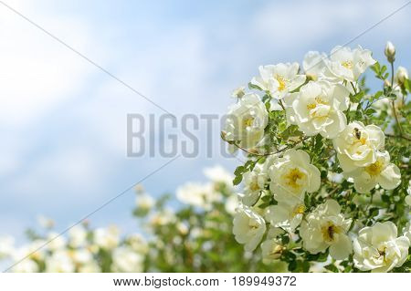 Bush of white roses on a background of blue sky. Floral background with space for text. Beautiful white roses.Selective focus