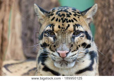Clouded leopard close up portrait Neofelis nebulosa. Wildlife animal.