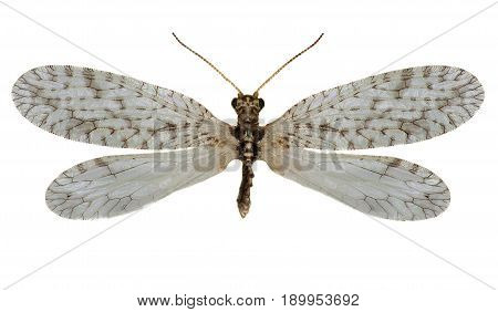 Brown Lacewing Micromus on white Background - Micromus variegatus (Fabricius 1793)