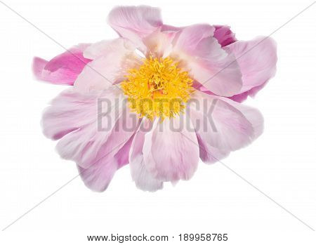 The opened peony flower on a white background