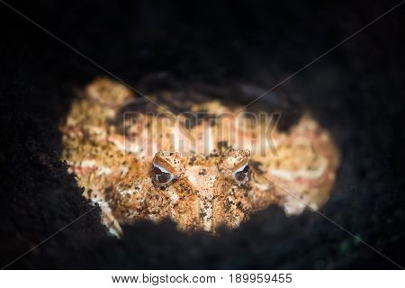 Argentine Horned Frog or Pac-man frog in the ground. Frog from the grasslands of Argentina, Uruguay and Brazil.