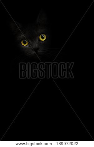 Black cat with yellow eyes is looking out of the shadow. Cat mysterious portrait. Black background. Shadow dark black kitten yellow eyes. Shadow and light cat. Yellow eye cat Black and white Kitty kat
