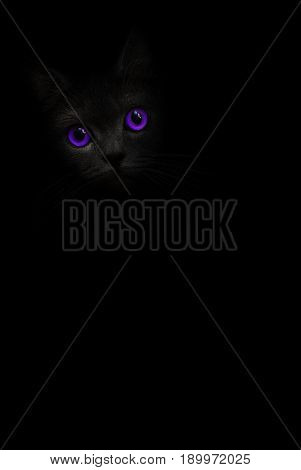 Black cat with lilac Violet eyes is looking out of the shadow on the black background. Black cat - play of shadow and light. Violet eye. Purple eyes Kitty kat