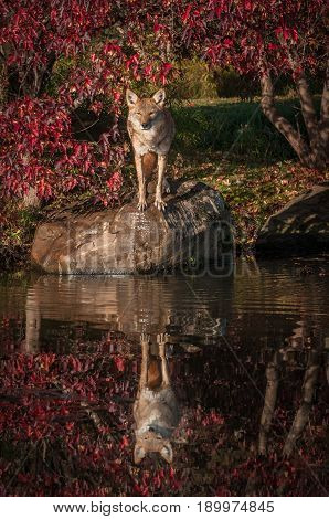 Coyote (Canis latrans) Stands On Rock - captive animal