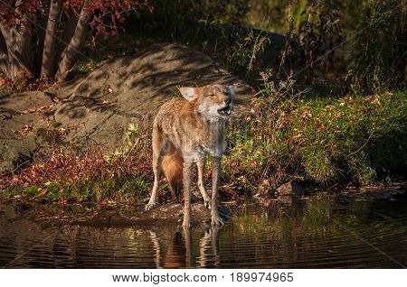 Coyote (Canis latrans) Raises Head to Howl - captive animal