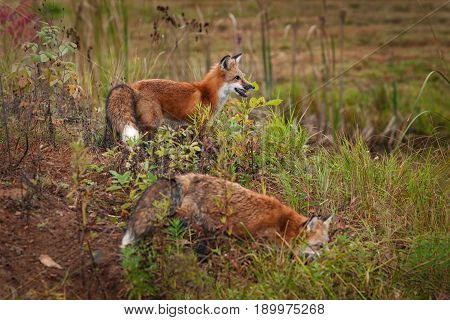 Two Red Fox ( Vulpes vulpes) Stand on Island - captive animals