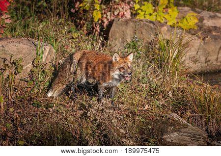 Red Fox (Vulpes vulpes) Stands With Open Mouth - captive animal