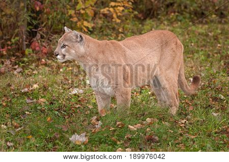 Adult Male Cougar (Puma concolor) Stands in Grass - captive animal