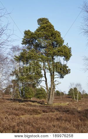 Conifers Into Heathland In Spring