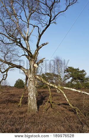 Trees Into Heathland In Spring