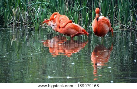 Flamingos or flamingoes are a type of wading bird, the only genus in the family Phoenicopteridae. There are four flamingo species in the Americas and two species in the Old World.