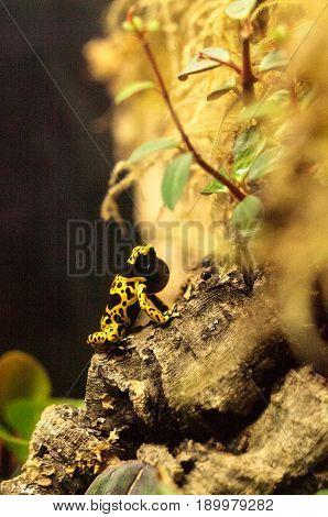Bumble Bee Poison Dart Frog Dendrobates Leucomelas