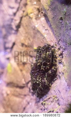 Mossy Frog Theloderma Corticale Is Found In Vietnam