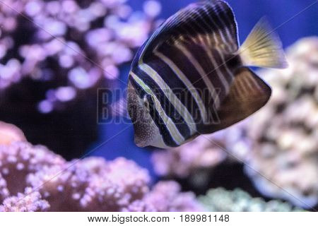 Sailfin Tang Zebrasoma Veliferum