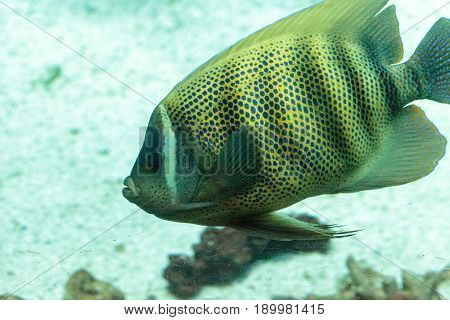 Sixbanded angelfish Pomacanthus sexstriatus swims over a coral reef