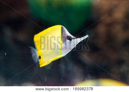 Yellow Longnose Butterflyfish Forcipiger Flavissimus