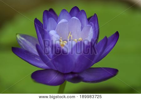 Closeup blooming blue Australian Giant waterlily lotus flower