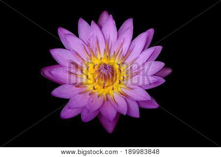 Closeup blooming waterlily or lotus flower isolated in black background.