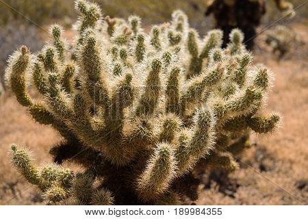 Teddy-Bear Cholla (Cylindropuntia bigelovii) at the Phoenix Sonoran Preserve Arizona