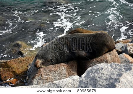 A seal basks in the sun in Narooma. Sleepy fur seal basques in the sunshine. The Australian Fur Seal Arctocephalus pusillus doriferus is the largest of all the fur seals.