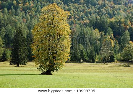 Alone tree in fall with forest in bacground.