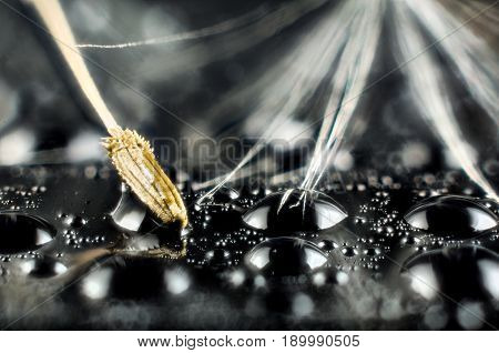 Seeds of dandelion on black background wit water drops macro photography